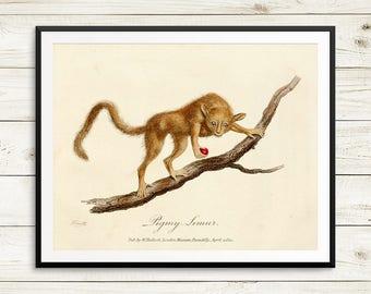 Antique animal prints, vintage science posters, pygmy mouse lemur, Microcebus myoxinus, lemurs, lemur prints, lemur pictures, lemur posters