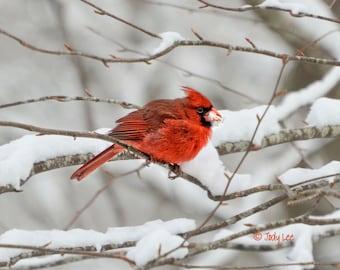 Cardinal, Male Cardinal, Red Cardinal, Red Bird, Bird Photography, Wild Bird, Nature Photography, Wall Art, Bird Art, Bird Home decor