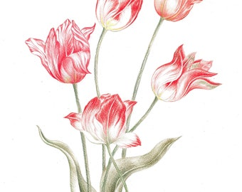 Tulips, flowers, botany, plants, spring,red.