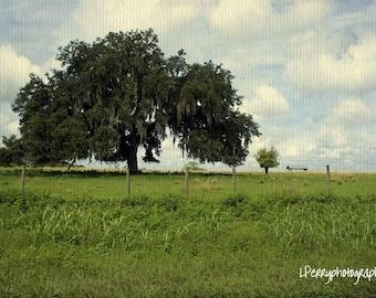 Mighty Oak Photographic Print