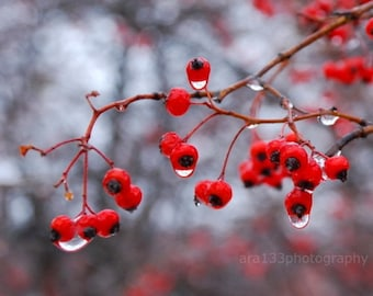 Winter Photography, Christmas, Holiday, Red Berries Picture, Nature Photo, Grey, Ice - 5x5 inch fine art Photograph - Winter Berries