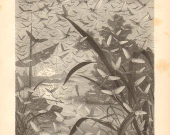 1877 Aquatic Insects, Mayflies or Shadflies, Ephemeroptera Original Antique Engraving to Frame