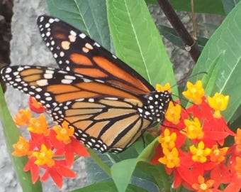 """8 Organic Live Asclepias-curassavica Tropical Milkweed Plants Monarch Butterfly 1-6"""" tall"""