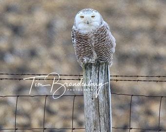 16 X 20 Metal Print of Snowy Owl in Rural Iowa