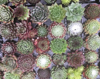 Pack Of 30 Sempervivum Succulent Plants 30 Varieties Hens & Chicks
