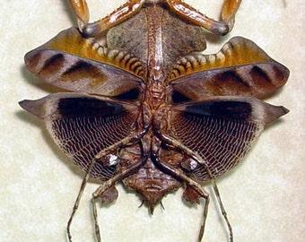 Dad's & Grad's Gift Amazing Preying Mantis Leaf Mimic Real Framed Insect 7904v