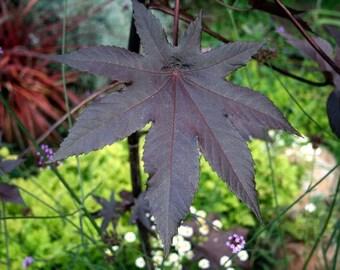 Medicinal Seeds, Castor, New Zealand Purple Castor Bean, Ricinus communis, Organic, 10 seeds peer pack GMO Free, Organic Seeds