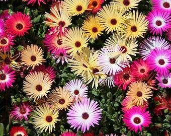 Ice Plant Mix Flower Seeds (Dorotheanthus Bellidiformis Mix) 200+Seeds