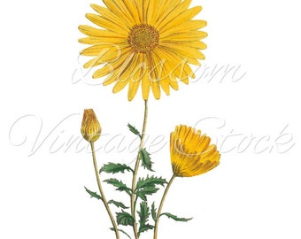 Yellow Daisy Clipart, Daisy Digital Image - PNG Daisy Vintage Graphic Antique Illustration for Printing, Artwork - INSTANT DOWNLOAD - 1162