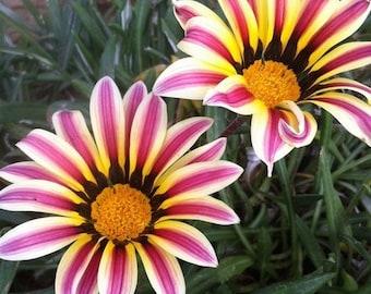 Gazania Garden Leader Rose Striped Seeds (Gazania Rigens) 10+Seeds