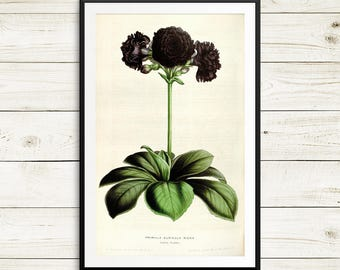 Gardening gifts, Primula auricula print, Mountain Cowslip print, Bear's Ear flower, floral art prints, floral botanical art set, vintage art