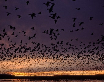 Nature Photography - Snow geese blast-off at sunrise from lake in Bosque del Apache, New Mexico