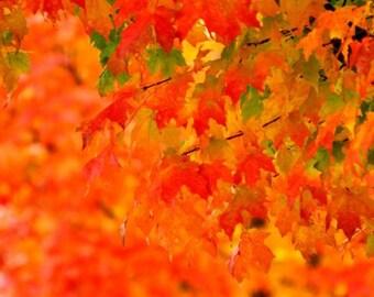 Fall Photography, Vivid Orange Fall Leaves Print, Dazzling, Maple Tree Photo,Green leaf Photo,Autumn wall Art,Red Leaf Photo,Fall Home decor