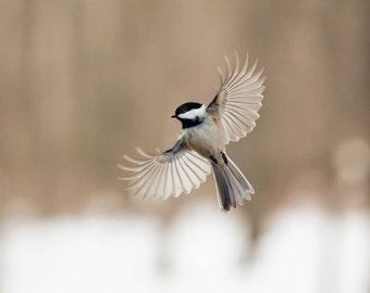 Chickadee bird print, bird photography, winter art print, chickadee, nursery decor, 8x10 bird photograph, flying bird