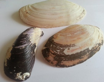 3 large scottish shells for arts and crafts - seashell beach decor