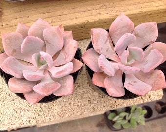 Graptoveria 'Debbie' has fleshy, lanceolate soft pink leaves arranged in a rosette.