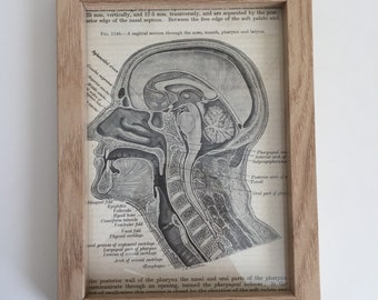 Antique Medical Anatomical Human Skull Muscle Veins Vintage Lithograph, print from 1942 Gray's Anatomy, framed art