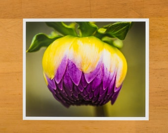 Purple and yellow dahlia flower about to bloom