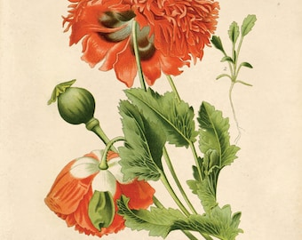 Vintage Flower Botanical Print Reproduction. Red Opium Poppy Wildflower. Garden Rose Flower Educational Chart Diagram - CP203