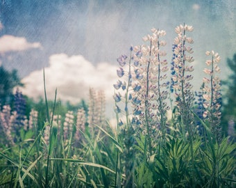 Lupines in a Field - Photography Print - Fine Art Flower  - Nature - New England Photography - Botanical- Home Decor