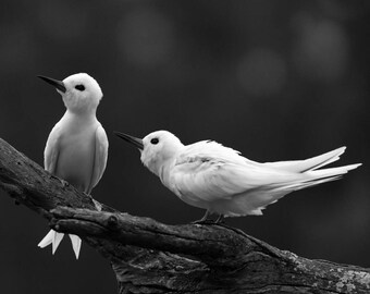 4PC Photography Set, Wall Art, Canvas Print, Monochrome, Black and White, Bird, White Tern, Angel, Nature, Wings, Feather, Animal, Wildlife