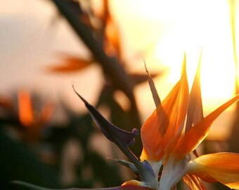 Nature Photography.  Flower Garden Photography.  Sunset Photography. 8x12 Print
