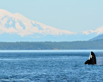 Wildlife Photography, Black and White Photography, Wildlife, Nature, Orca, Whale, Whales, Mt. Baker, Mountains, Ocean, Landscape