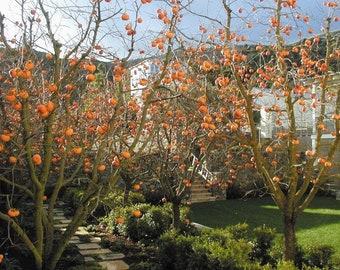 One Persimmon tree, Live tree!