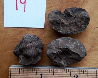 Trilobite Fossil #19