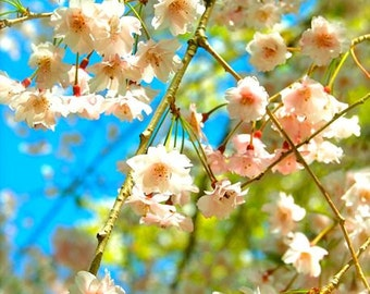 Cherry Blues - White Blossoms, Blue Sky, Japanese Flowers, Photography Print, Floral, Spring, Bright, Baby Blue, Nature, Scenery, Nakasendo
