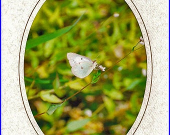 Cabbage Butterfly Framed Photo Greeting/Note Card