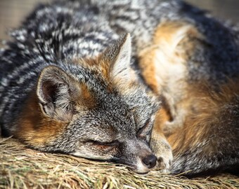 Fox, Animal Photography, Wildlife Photography