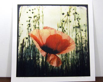 Hatching poppy - Expo 30x30cm - signed and numbered print