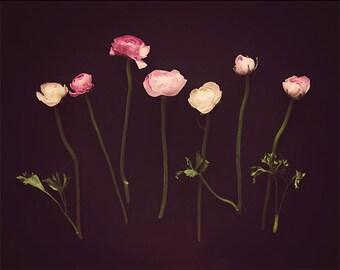 Pink and black flower print, dark flower photography, ranunculus print, wall decor, bathroom art,  home decor, bathroom decor, for her,