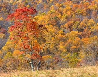 Fall Foliage - Fine Art Photograph Print - Autumn Leaves - Shenandoah National Park, Virginia - Blue Ridge Mountains Art - Orange Yellow Red
