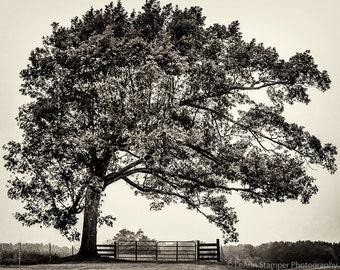 Oak Tree,Farm,Bent Tree,Sepia,Black and White,Tree,Lone Tree,North Carolina,Home Decor,Wall Art,Oversize Art,Office Decor,Canvas Option