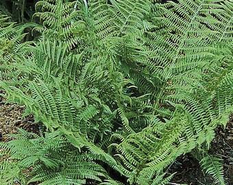 5 Toothed Wood Fern bareroot (Dryopteris carthusiana)