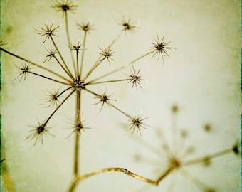 God Save the Queen : vintage flower photography annes lace wild carrot harvest cream ecru home decor 8x8 10x10 14x14 16x16 20x20 24x24 30x30