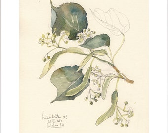 Linden Tree Blossom #5 watercolor and pencil drawing, PRINT of fresh green lime tree. Botanical art by Catalina S.A