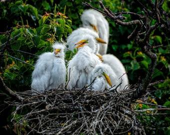 White Heron, Baby Heron