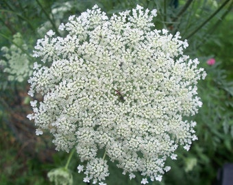 200 seeds queen anne's lace Free Shipping