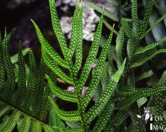 Bumps on a Fern, Fine Art Photography, Nature Photography, Contemporary Art, Home Decor, Tropical Decor, Hawaii, Botanical