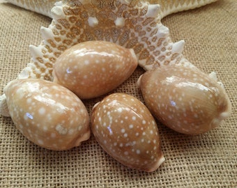 Deer Cowrie Spotted Sea Shell Supplies Perfect for Crafting, Decorating, Jewelry Making, Weddings, Jewelry, Fillers, Mirrors Frames Art Craf