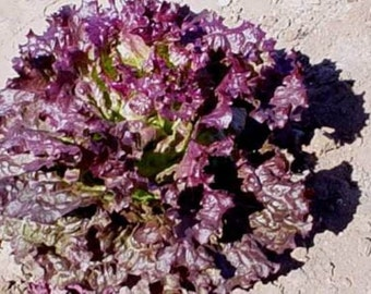 Ruby Red Heirloom Leaf Lettuce Seeds Non-GMO Naturally Grown Open Pollinated Gardening