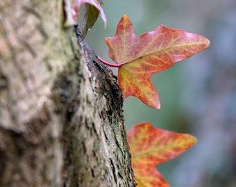 Digital photo of Ivy leaves