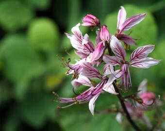 Clary Sage Seeds (Monarch Mix)100 Seeds