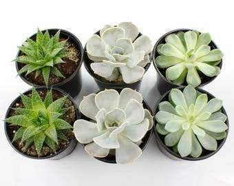 "4.25"" Live Succulent Plants - Mixed Varieties - Flat of 10"