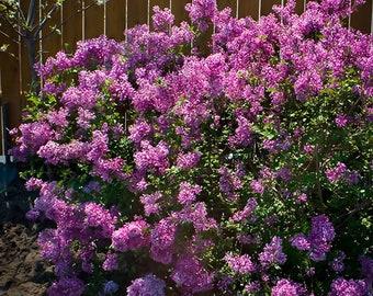 Bloomerang Purple Lilac 3 Gallon