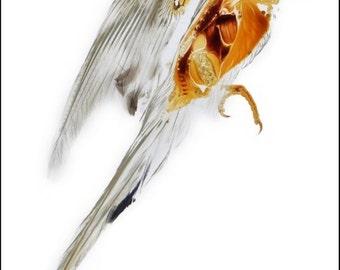 Print of a budgerigar bird sheet plastination anatomical specimen