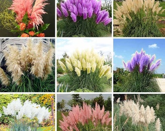 Pampas Grass Seeds 1000 Pcs Mix